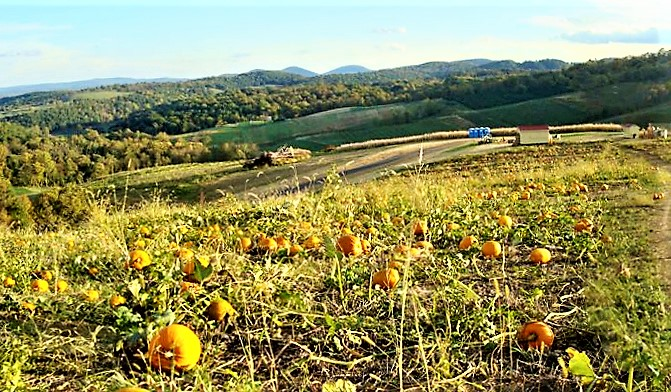 Pumpkin's From Apple Orchard